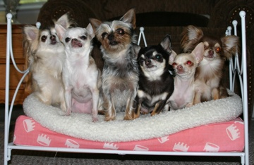 from left to right: Mora, Mija, Aimee (yorkie - chi mix), Reina, Chica & Niña - photo by Ann Ranlett