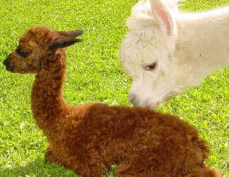 Alpaca dam & cria - photo by the Alpaca Granny