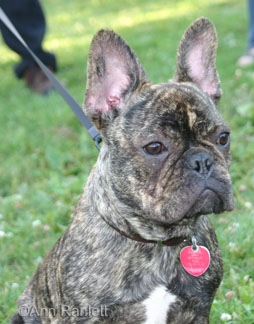 Bean the French Bulldog