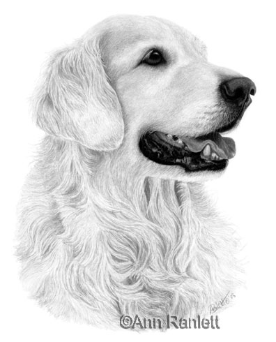 ink on scratchboard portrait of Chevy by Ann Ranlett