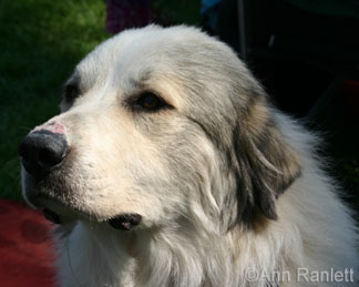 Cheyenne the Great Pyrenees