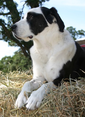 Patch pretending to be a ranch dog - he loved to perch on the hay bales when John brought home hay for my horse!