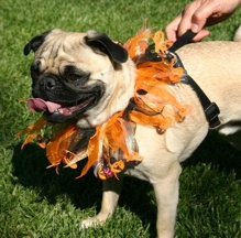 Halloween Pug #2 - photo by Ann Ranlett