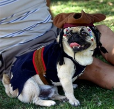 Capt. Jack Sparrow Pug - photo by Ann Ranlett