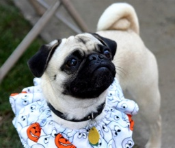 Halloween pug - photo by Ann Ranlett