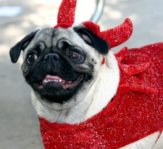 Sparkly Devil Pug - photo by Ann Ranlett