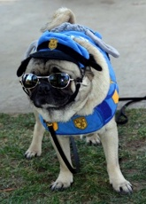 Cop Pug (aka Tommy) - photo by Ann Ranlett