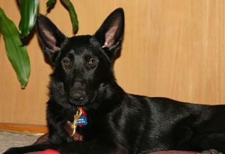 Tootsie the German shepherd, photo by Ann Ranlett