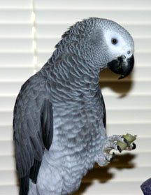 Zoya the African grey parrot enjoys a bit of cucumber, photo by Ann Ranlett