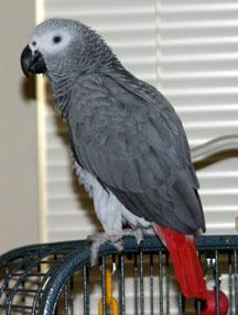 Zoya the African grey parrot, photo by Ann Ranlett