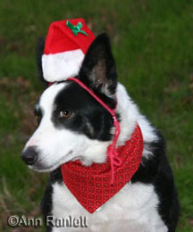 Magpie the border collie