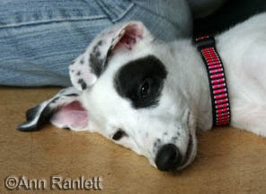 Greyhound Pup, photo by Ann Ranlett