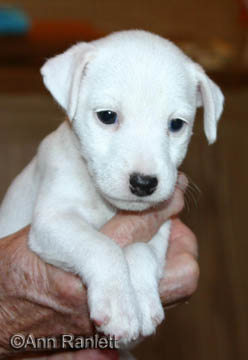 Jack Russell Terrier pup, photo by Ann Ranlett
