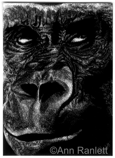 Gorilla Gaze No. 2, scratchboard drawing by Ann Ranlett
