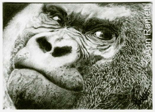 Gorilla Gaze No. 2, pencil drawing by Ann Ranlett