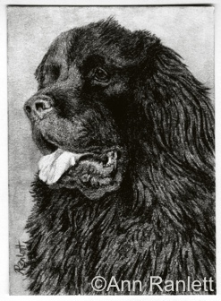 Got Cookies? Newfie drawing by Ann Ranlett