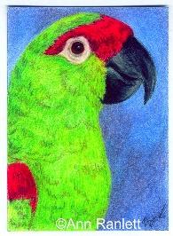 Pine Nut - color pencil ACEO by Ann Ranlett