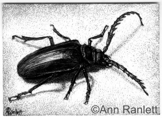 California Prionus beetle on black scratchboard by Ann Ranlett