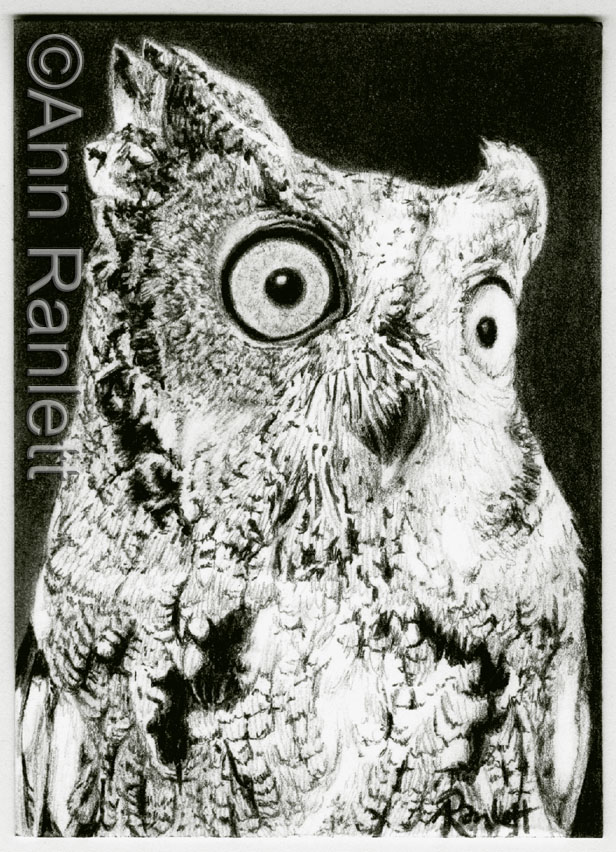 Western Screech Owl - pencil drawing by Ann Ranlett