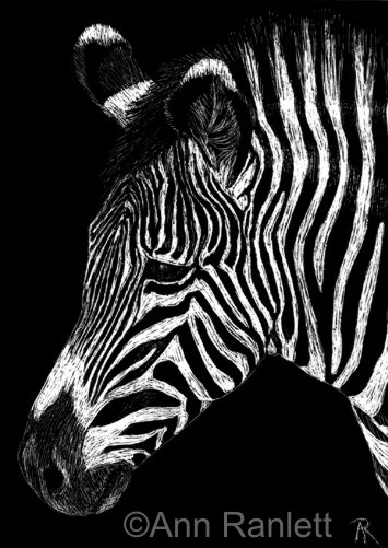Stripey #2 - zebra drawing by Ann Ranlett