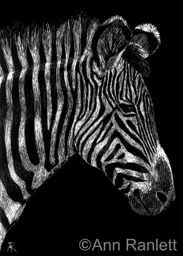 Stripey - zebra drawing by Ann Ranlett