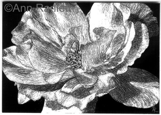 White Rose on Black Scratchboard by Ann Ranlett