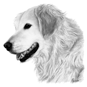 Brook, Golden Retriever - ink on scratchboard