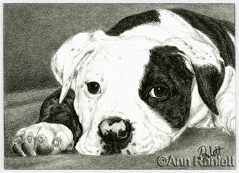 Ella, American  Bulldog portrait by Ann Ranlett