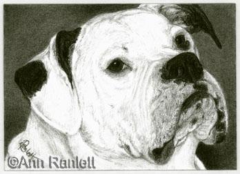 Lexi, American  Bulldog portrait by Ann Ranlett
