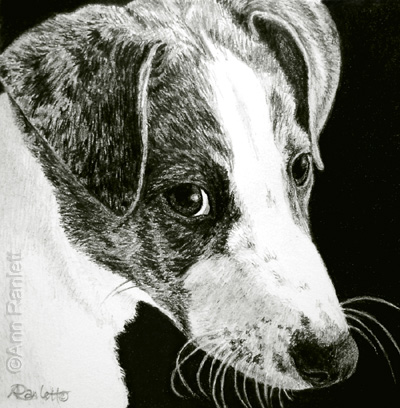 Paddy, 3 x 3 pencil drawing by Ann Ranlett