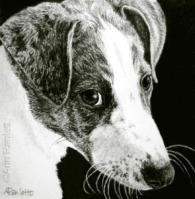 Paddy, 3 x 3 pencil drawing by Ann Ranlett