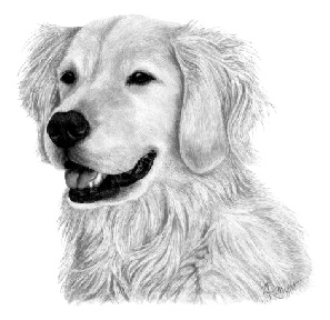 Riggs, Golden Retriever - ink on scratchboard