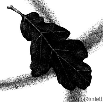 Blue Oak #1, scratchboard drawing by Ann Ranlett