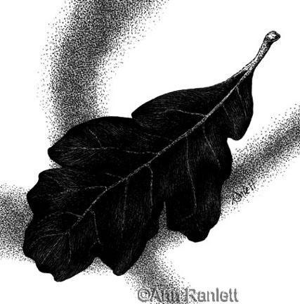 Blue Oak #3, scratchboard drawing by Ann Ranlett