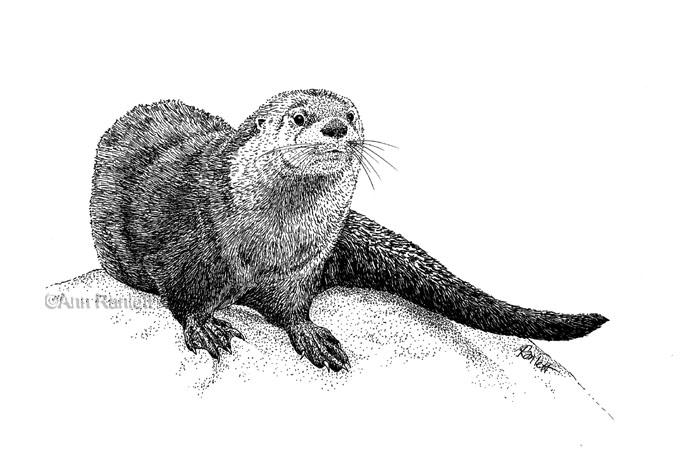 Ann Ranlett's Blog - Animals, Art, Etc.: River Otter ...  Ann Ranlett'...