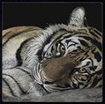 tiger, sumatran tiger, scratchboard, bahagia