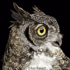 Bella - Great-horned Owl